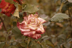 Red and creamy rose dying in autumn garden. Wilted rose. Sad fall mood. Vintage low saturated colors. Copyspace Stock Photos