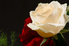 The red and creamy roses. On a dark background Stock Photos