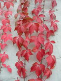 Red Creeper. Beautiful red creeper near the white wall Stock Images
