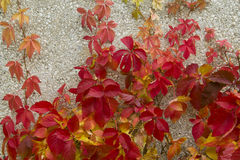 Red creeper leaves on the stone wall of a building Royalty Free Stock Images