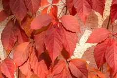 Red creeper Stock Images