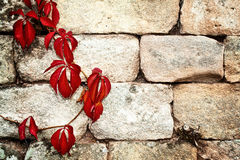 Red creeper plant on a vintage  wall Royalty Free Stock Photo