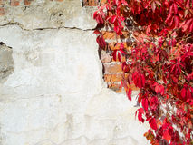 Red creeper plant on wall Royalty Free Stock Images