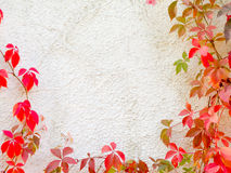 Red creeper plant on wall Stock Images