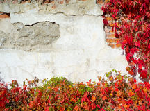 Red creeper plant on wall Stock Image