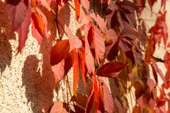 Red creeper Royalty Free Stock Photography