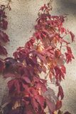 Red creeper Royalty Free Stock Images