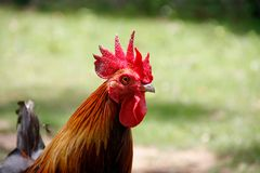 Red crest of rooster head Stock Images