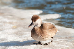 Red crested. Has just come up on the ice Royalty Free Stock Images