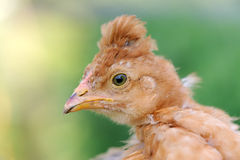 Red Crested Baby Chicken Close-Up Royalty Free Stock Image