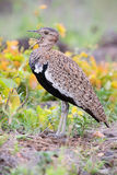 Red-crested Bustard calling to its mate while trying to hide in Royalty Free Stock Image