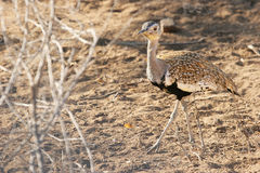 Red-crested bustard in Kruger Park, South Africa Royalty Free Stock Image