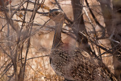 Red-crested bustard Stock Photo