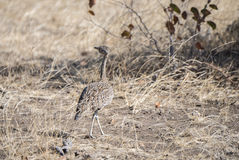 Red-crested Bustard (Lophotis ruficrista) on the Plains of Africa Stock Photography