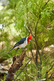 Red-Crested Cardinal Royalty Free Stock Image