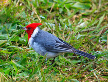 Red-Crested Cardinal Royalty Free Stock Photography
