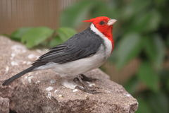 Red-crested cardinal Stock Photo