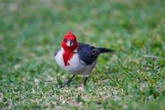 Red-Crested Cardinal Стоковые Изображения
