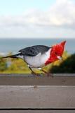 Red Crested Cardinal above Hanalei Bay Kauai Hawaii Stock Photography