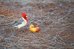 Red crested Cardinal and apple Royalty Free Stock Images