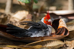 Red-crested cardinal bathing. In a leaf Royalty Free Stock Photo