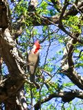 Red Crested Cardinal Bird. Beautiful Red Crested Cardinal bird with red head and white and grey body perched in tree in Hawaii royalty free stock photography