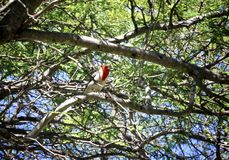Red Crested Cardinal Bird. Beautiful Red Crested Cardinal bird with red head and white and grey body perched in tree in Hawaii stock images
