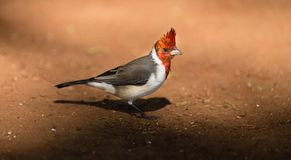 Red Crested Cardinal Bird Family of Tanagers Oahu Hawaii. This Red Crested Cardinal hunts along the ground looking for grubs, insects and worms in Hawaii Royalty Free Stock Image