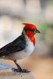 Red Crested Cardinal Bird with a Tiny Bread Crumb Stock Photos