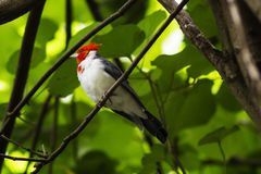 Red-crested cardinal Royalty Free Stock Photos