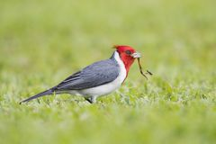 Red crested cardinal gathering grass for his nest. In Maui Hawaii stock images