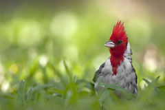 Red crested cardinal in grass. Close up image of a red crested cardinal (Paroaria coronata) standing in the grass Stock Image