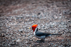 Red-crested cardinal holding food Stock Photos