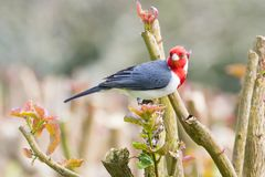 Red crested cardinal on island of Maui Hawaii resting on tree branch. During the day royalty free stock image