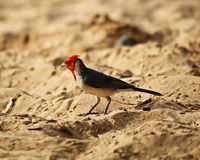 Red Crested Cardinal on Maui Stock Photos