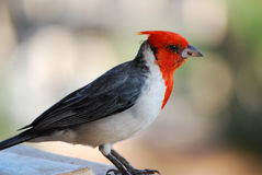 Red Crested Cardinal in Maui Hawaii. Up close with a red crested cardinal bird in Maui Hawaii stock photography