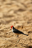 Red Crested Cardinal on Maui Stock Photography