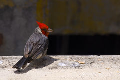 Red-crested Cardinal (Paroaria coronata) Royalty Free Stock Image
