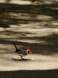 The red-crested cardinal. (Paroaria coronata) is a bird species in the tanager family (Thraupidae). It was formerly placed in the Emberizidae, and royalty free stock photography