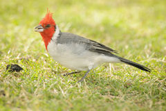 Red-crested Cardinal (Paroaria coronata) feeding Stock Images