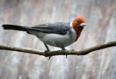 Red Crested Cardinal (paroaria coronata) Royalty Free Stock Images