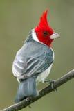 Red-crested Cardinal (Paroaria coronata). Perching on a branch Royalty Free Stock Photos