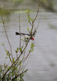 Red Crested Cardinal Stock Images