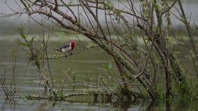 Red Crested Cardinal Stock Photos