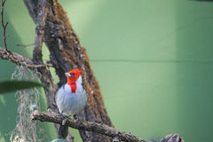 Red crested cardinal (Paroaria coronata) sitting on a tree Royalty Free Stock Photography