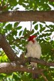 Red-crested Cardinal Paroaria coronata Royalty Free Stock Image