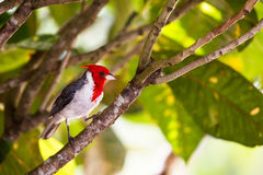 Red-crested Cardinal Paroaria coronata Royalty Free Stock Images