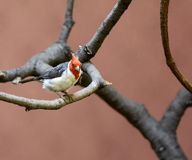 Red Crested Cardinal Stock Image