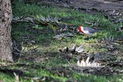 Red crested cardinal. Red-crested cardinal looking for food royalty free stock photography