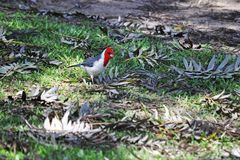 Red crested cardinal. Red-crested cardinal looking for food stock images